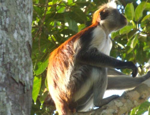 Jozani Forest Chwaka Bay National Park
